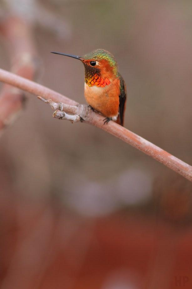 Allen's Hummingbird 021413