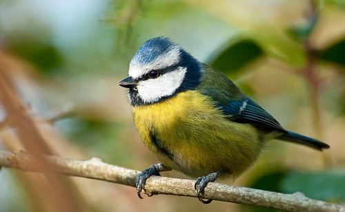 Blue Tit....  (Explored) by Andy Short's Nature Photography.