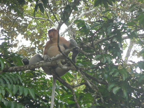 Male Proboscis Monkey in Kinabatangan
