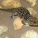 Turner's Thick-toed Gecko - Photo (c) Bernard DUPONT, some rights reserved (CC BY-NC-SA)