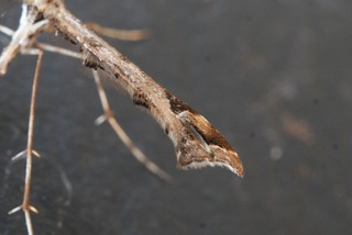Amblyptilia acanthadactyla - wing detail