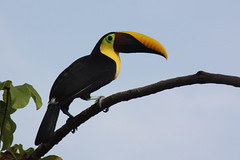 coraciiformes(0.0), animal(1.0), hornbill(1.0), branch(1.0), yellow(1.0), wing(1.0), toucan(1.0), fauna(1.0), beak(1.0), bird(1.0), wildlife(1.0),