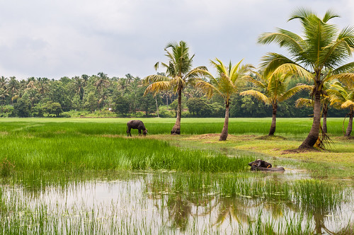 india water buffalo rice paddy coconut kerala muddywater coconuttree ricefields paddyfields thrissur coolingoff chillingoff