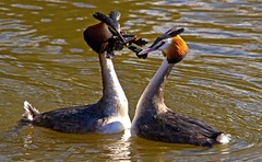 Grebes ..Great Crested...Slavonian & Little