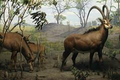 deer(0.0), pack animal(0.0), hartebeest(0.0), kudu(0.0), elk(0.0), animal(1.0), antelope(1.0), wildebeest(1.0), mammal(1.0), horn(1.0), herd(1.0), fauna(1.0), savanna(1.0), safari(1.0), wildlife(1.0),
