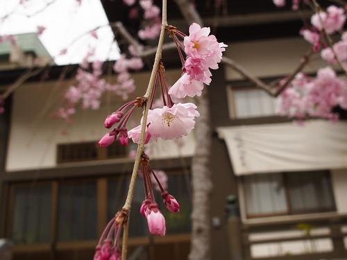 覚林寺 枝垂れ桜 by leicadaisuki