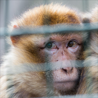 Caged Monkey Variation1