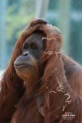 Sumatra Orang Utan MATRA