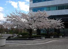 Portland Spring Trees