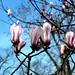 Princeton Pink