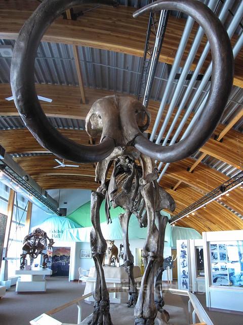 Beringia wooly mammoth replica