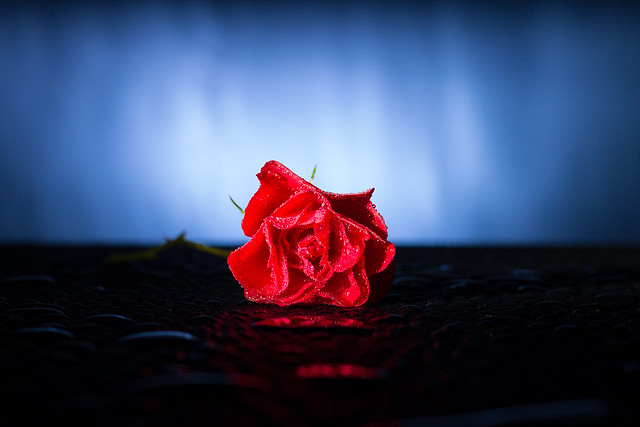 The Lone Rose