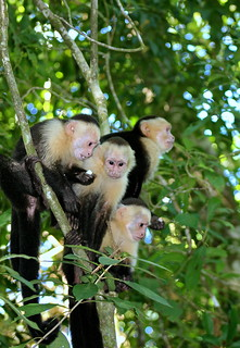 The White-faced Monkeys