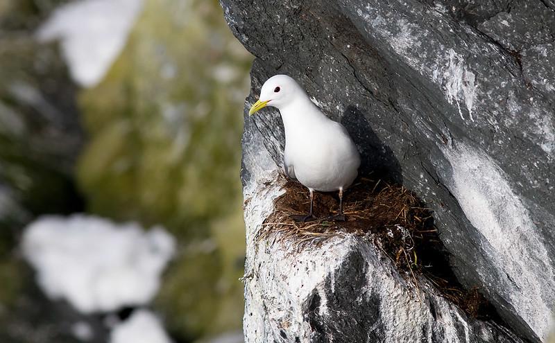 A Kittiwake nest on the edge