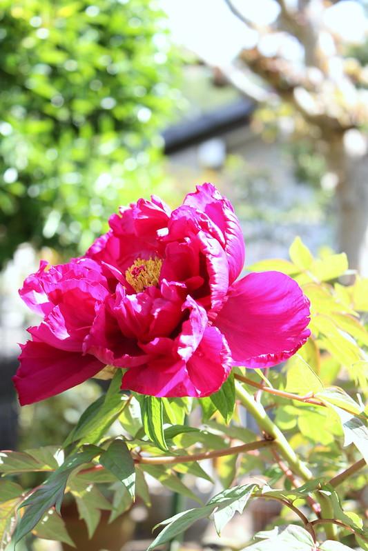 庭のボタンの花 my mom's peony