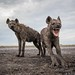Hyenas by Burrard-Lucas Wildlife Photography