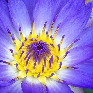 #flower #botanic #botanical #purple #lotus #closeup #nature #flowers #nimphea #yellow #instaflower #deutschland #petal #petals #garten #botanischergartenerlangen #botanischergarten
