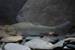 高身鏟頜魚(高身鯝魚)。(圖片來源:林務局)