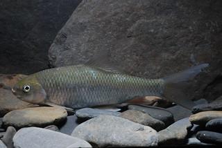 河川棲地的破壞,使得台灣淡水魚處於困境;圖為瀕絕物種高身鯝魚。(圖片來源:林務局)