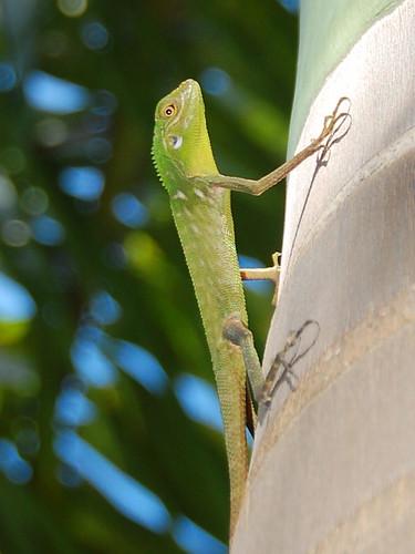 Lizard in Borneo