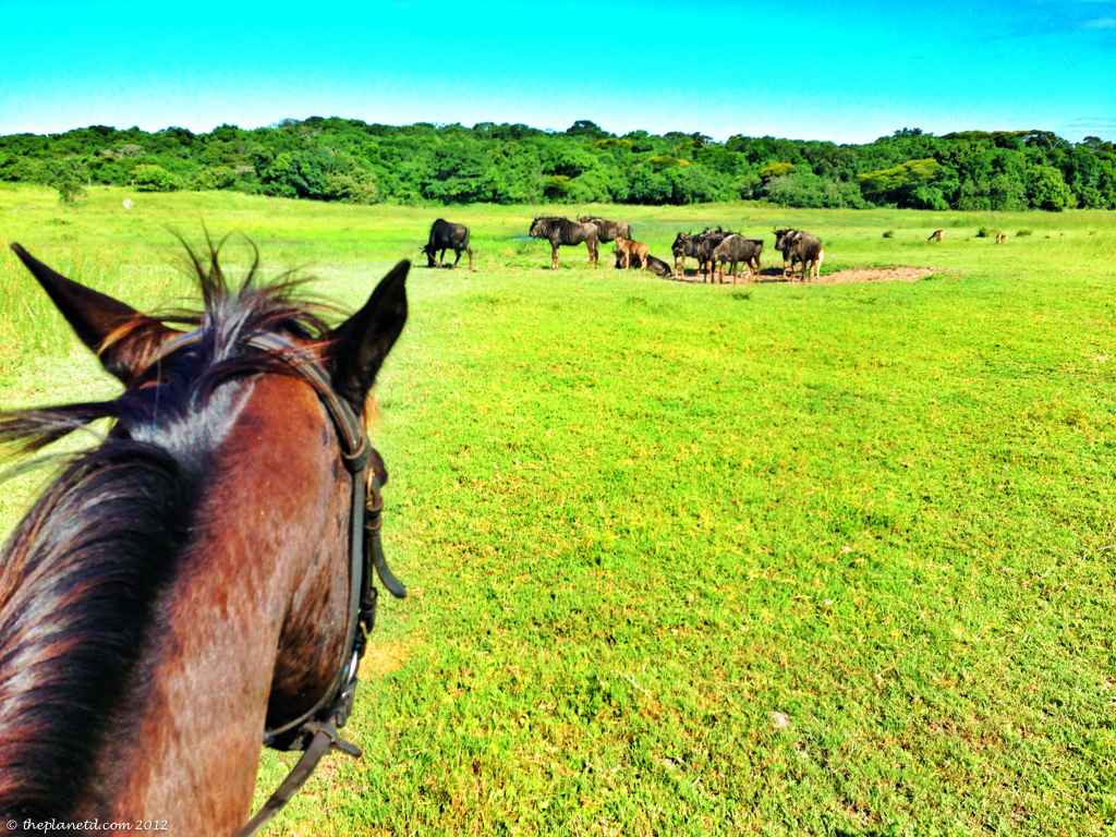 horse safari with wildebeest