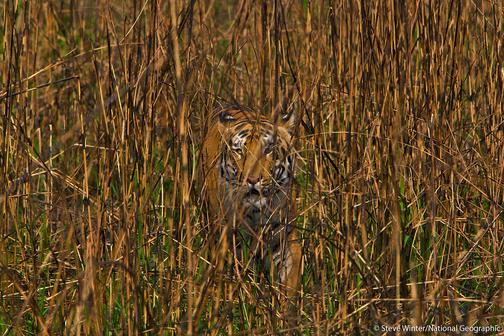 An impressively camouflaged tiger walking through tall grass in India's Kaziranga National Park