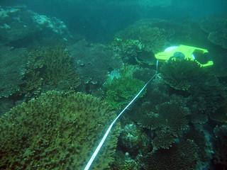 雖然海溫升高可能造成珊瑚滅絕,研究人員發現珊瑚仍會發展生存之道來適應。(圖片來源:陳昭倫團隊)