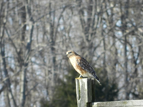 Red-shouldered Hawk with color band
