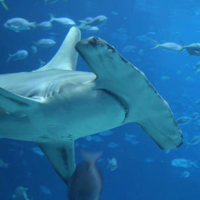 #18 - U.S. Supports Hammerhead Shark Proposals | Flickr ...