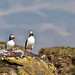 Puffins of Breidafjordur (Alan Bevis)
