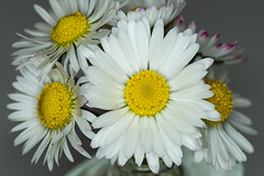 gerbera(0.0), plant stem(0.0), annual plant(1.0), flower(1.0), yellow(1.0), plant(1.0), marguerite daisy(1.0), chamaemelum nobile(1.0), daisy(1.0), macro photography(1.0), flora(1.0), oxeye daisy(1.0), floristry(1.0), close-up(1.0), chrysanths(1.0), daisy(1.0), petal(1.0),