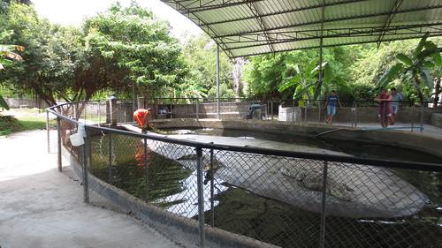 Koh Samui Crocodile Farm サムイ島 クロコダイルファーム (2)