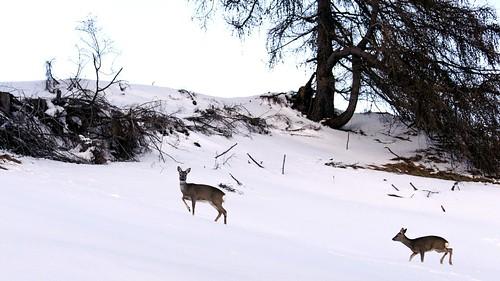 mountain snow montagne nikon neve animale dolomiti incontro d90 capriolo nikond90 albitai