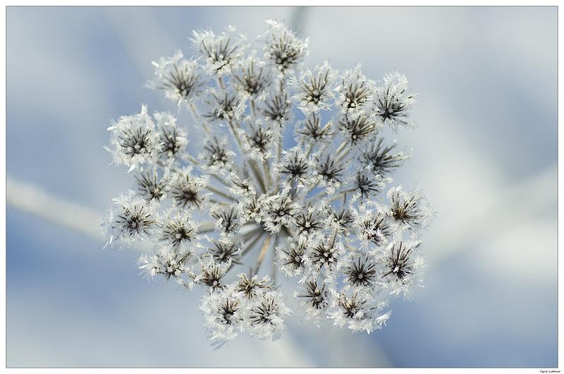 (NATURE: Paysage/Parc/Flore) Fleur de diamants 8502185765_eef810a031_c