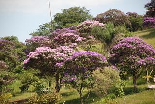 "quaresmeiras ""Tibouchina-granulosa"" Brazilian"