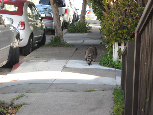 Raccoon in the morning