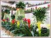 Dracaena braunii (Lucky Bamboo, Ribbon Plant, Ribbon Dracaena, Belgian Evergreen)