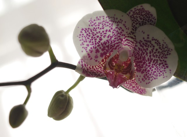 Fresh Orchid Bloom