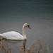 Susquehanna Swan by starrienight