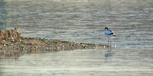 Avocet at Broom