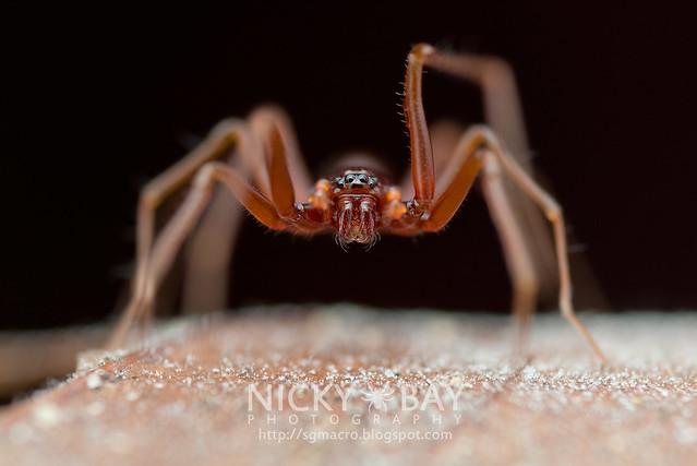 Ant-Like Sac Spider (Teutamus sp.) - DSC_8456