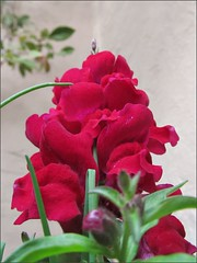 Red snapdragons