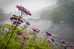 Joe-Pye weed beside Blackwater River photographed at Canaan Valley National Wildlife Refuge by Gerri Wilson