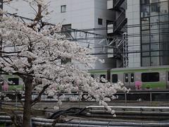 桜と山手線
