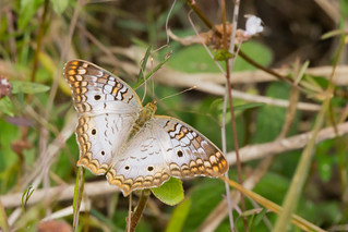 White Peacock - Anartia jatrophae