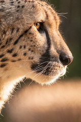 Cheetah Profile 3-0 F LR 3-10-13 J025