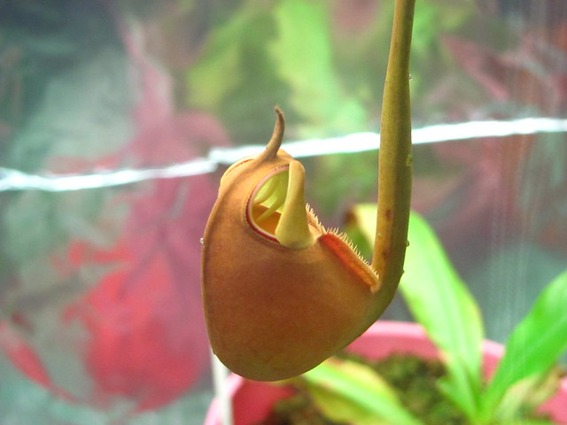 Opening bical pitcher