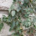 Garden Inventory: Ficus repans - 08