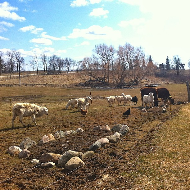 There was snow on the ground this morning. But now there's sun!  :D #farm #katahdin #cmig365apr