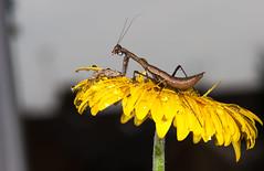 Praying Mantis (Explore 3/4/13 ) best position was #1